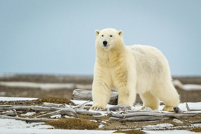 Arctic Beauty