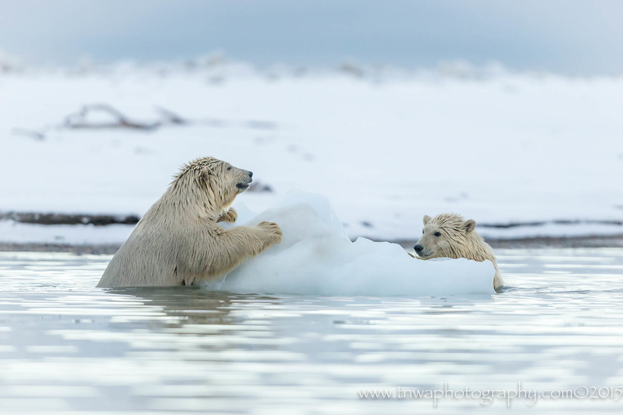 Polar Bear Iceberg Play