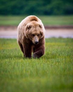 Katmai Coastal Brown Bear Katmai National Park & Preserve Alaska © 2011