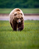Katmai Coastal Brown Bear<br /> Katmai National Park & Preserve<br /> Alaska<br /> © 2011