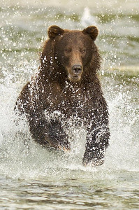 Coastal brown bear chasing salmon Kuliak Bay, Katmai National Park Alaska © 2012