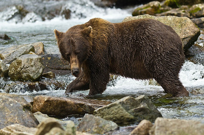 Coastal Brown Bear Kuliak Bay, Katmai National Park & Preserve Alaska © 2012