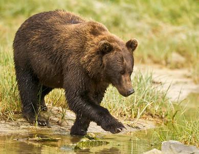 Coastal Brown Bear Kuliak Bay Katmai National Park, Alaska © 2012