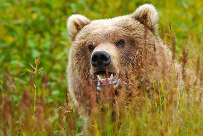 Coastal Brown Bear Surprise Katmai National Park & Preserve Alaska © 2011