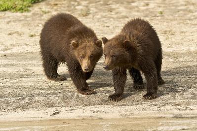 Double Trouble spring cubs Kuliak Bay, Katmai National Park Alaska © 2012