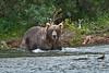 Coastal brown bear fishing for salmon<br /> Funnel creek, Katmai National Preserve<br /> Alaska<br /> © 2013