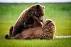 Coastal Brown Bears Courtship<br /> Coastal Brown Bears<br /> Katmai National Park, Alaska<br /> © 2011