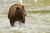 Katmai Coastal Brown Bear in River<br /> Kuliak Bay<br /> Katmai National Park, Alaska<br /> © 2012