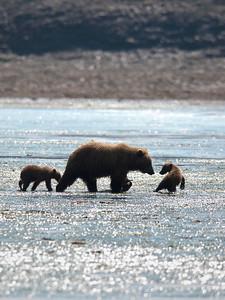 Coastal Brown Bear Family - On the Move Katmai National Park & Preserve Alaska © 2010