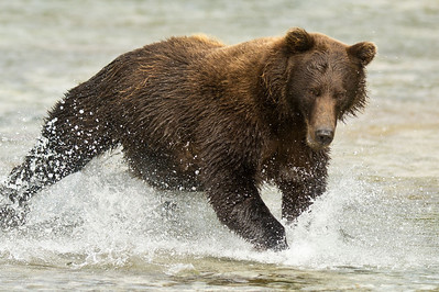 Brown Bear Chases Salmon Kuliak Bay, Katmai National Park & Preserve Alaska © 2012