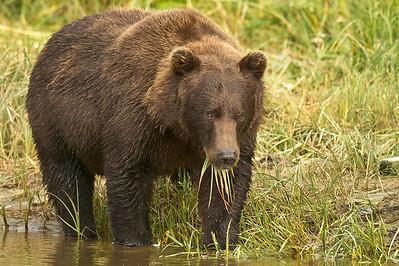 Dose of Greens Coastal Brown Bear Kuliak Bay, Katmai National Park & Preserve, Alaska © 2012
