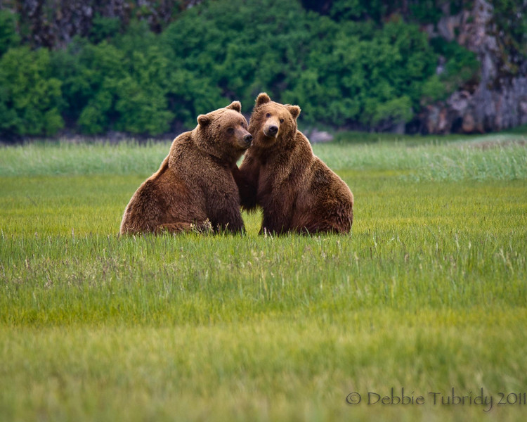 Courtship of the Coastal Brown Bears<br /> Katmai National Park & Preserve<br /> Alaska<br /> © 2011