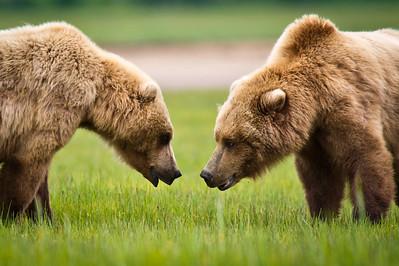 Confrontation Coastal Brown Bears Katmai National Park - Alaska © 2011