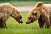 Confrontation<br /> Coastal Brown Bears<br /> Katmai National Park - Alaska<br /> © 2011