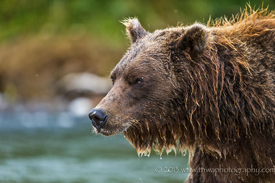 Portrait of a Coastal Brown Bear Katmai National Park & Preserve Funnel Creek, Alaska © 2014