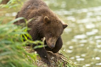 Brown Bear Cub Kuliak Bay, Katmai National Park Alaska © 2012