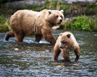 Life Is Good Brown Bear Sow & Her Yearling Cub Russian River, Kenai Peninsula, Alaska © 2011