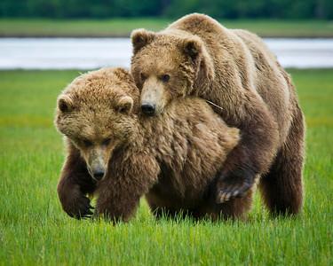 Coastal Brown Bears Feeling Frisky Katmai National Park & Preserve Alaska © 2011