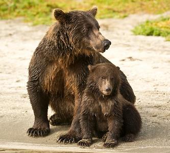 Sow & Young Cub - Coastal Brown Bear Kuliak Bay Katmai National Park, Alaska © 2012