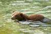 Coastal Brown Bear Cub<br /> Kuliak Bay, Katmai National Park & Preserve<br /> Alaska<br /> © 2012