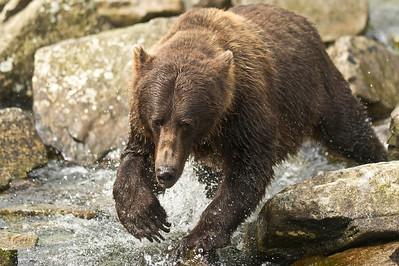 Coastal Brown Bear In Pursuit of Salmon Kuliak Bay, Katmai National Park Alaska © 2012