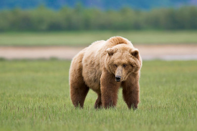 Male Coastal Brown Bear Looking For A Mate Katmai National Park & Preserve Alaska © 2011