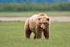 Male Coastal Brown Bear Looking For A Mate<br /> Katmai National Park & Preserve<br /> Alaska<br /> © 2011