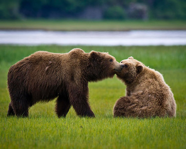 Courtship of Brown Bears Katmai National Park & Preserve Alaska © 2011