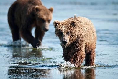 Inquisitive & Learning Yearling Coastal Brown Bear Cub & Sow Katmai National Park, Alaska © 2010