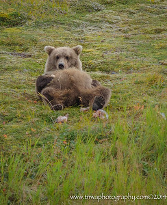 Feeling Full? Coastal brown bear cub Katmai National Park & Preserve, Alaska © 2014