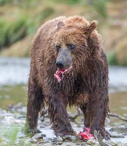 Brown Bear Tearing Into Its Salmon Catch Funnel Creek, Katmai National Preserve Alaska © 2013