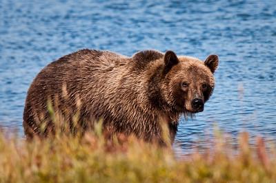 Coastal brown bear cruises the shoreline Katmai National Park & Preserve    Alaska © 2009