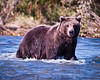 Welcome To My World<br /> Coastal Brown Bear in River<br /> Katmai National Park  Preserve, Alaska<br /> © 2009