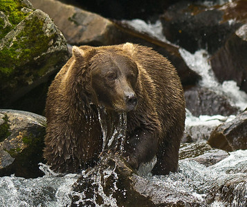 Coastal Brown Bear Salmon Fishing At Waterfall Kuliak Bay, Katmai National Park & Preserve Alaska © 2012
