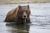 Coastal Brown Bear Up For Air<br /> Funnel Creek, Katmai National Preserve<br /> Alaska<br /> © 2013