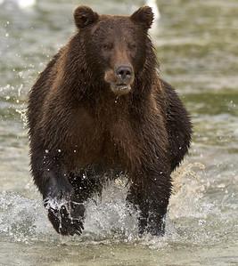 Coastal Brown Bear Runs Full Speed After Salmon Kuliak Bay river, Katmai National Park & Preserve Alaska © 2012