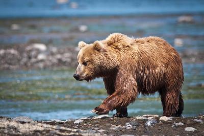 Coastal Brown Bear Katmai National Park & Preserve Alaska © 2010
