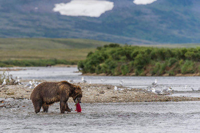 Brown Bear in the Wilderness of Katmai Funnel Creek, Katmai National Park & Preserve Alaska © 2013