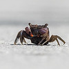 Mangrove Tree Crab (Artus pisonii)