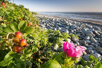 Wild roses on beach Bay of Fundy Nova Scotia
