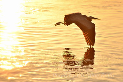 Heron flying over Intracoastal Waterway off St. Simons Island