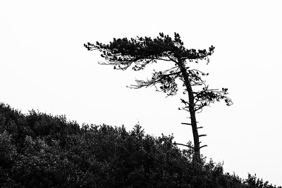 JW2_5370_windswept-tree