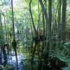 Cypress Swamp, First Landing State Park, Virginia Beach, VA.