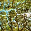 Live Oaks with Sunburst