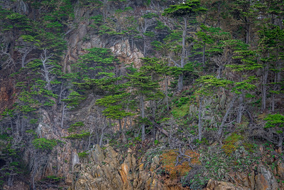 Monterey Cyprus, Point Lobos