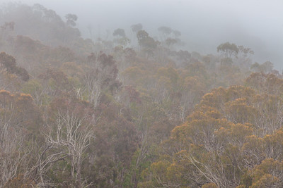 Eucalyptus and Fog, Montana de Oro