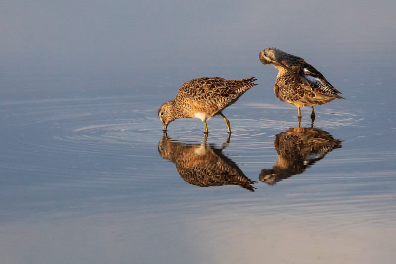 Long Billed Dowitchers preening at Bear Island
