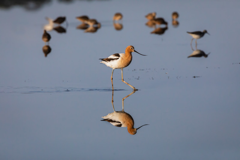American Avocet on Bear Island