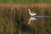 American Avocet at Bear Island