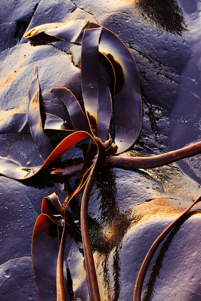 Kelp on wet rock
